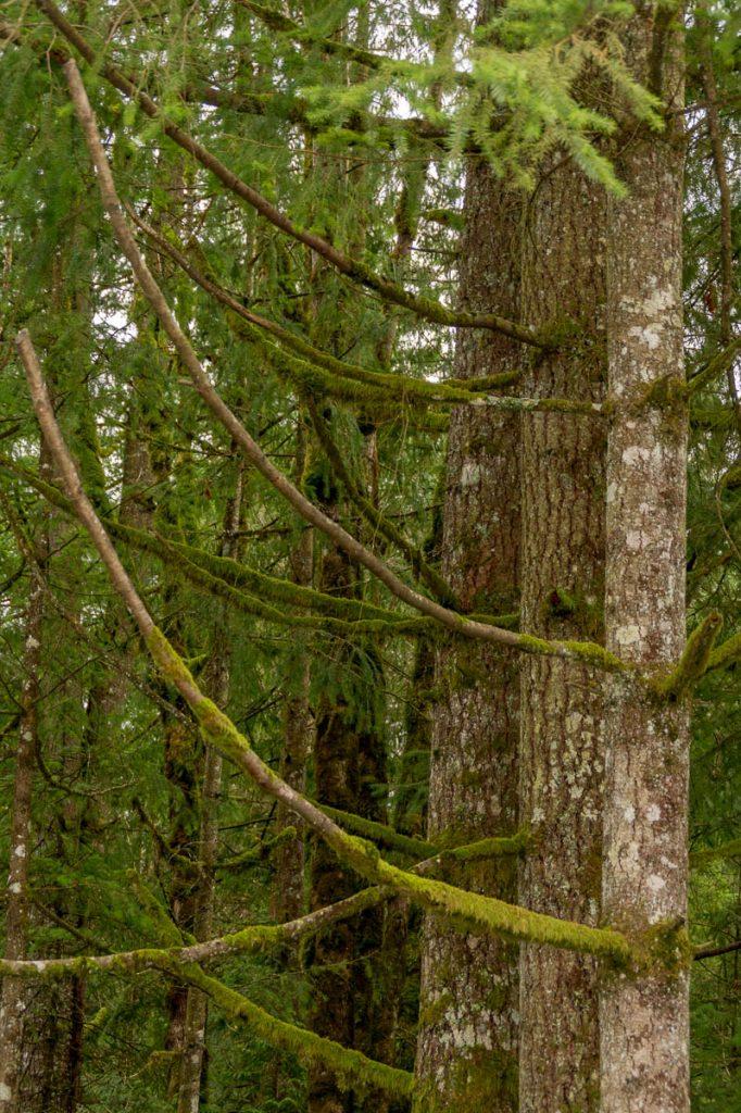 Mossige bomen,Fraser Valley, British Columbia, Canada (2010)