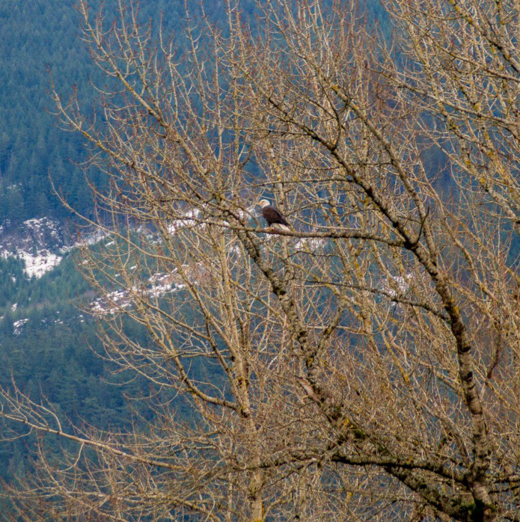 Amerikaanse Zeearend (Haliaeetus leucocephalus),Kent, British Columbia, Canada (2010)