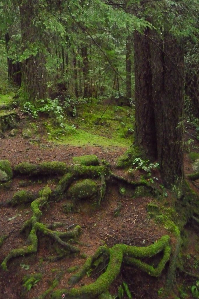 Mossige boomwortels,Lynn Creek Valley, Vancouver, British Columbia, Canada (2010)