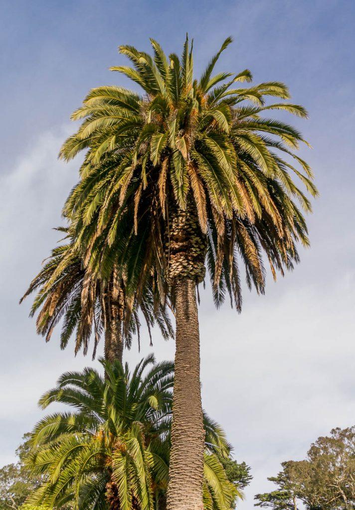 Canarische dadelpalm (Phoenix canariensis),Golden Gate Park, San Francisco, Californië, Verenigde Staten (2010)