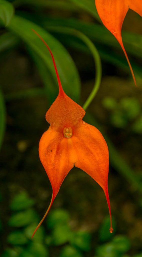 Masdevallia veitchiana,Conservatory of Flowers, San Francisco, Californië, Verenigde Staten (2010)