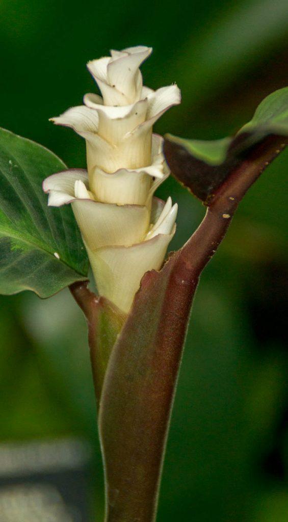 Calathea warscewiczii,Conservatory of Flowers, San Francisco, Californië, Verenigde Staten (2010)