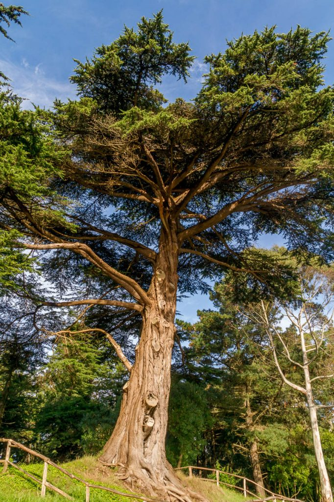Montereycipres (Hesperocyparis macrocarpa),Golden Gate Park, San Francisco, Californië, Verenigde Staten (2010)