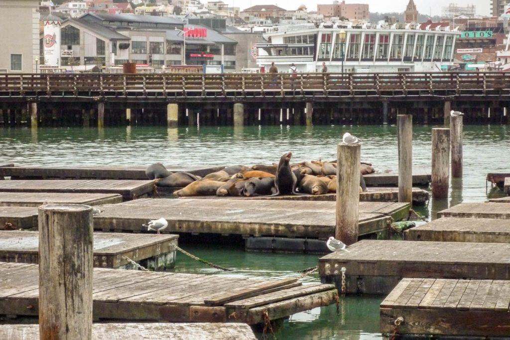 Zeeleeuwen (Zalophus californianus),Pier 39, San Francisco, Californië, Verenigde Staten (2010)