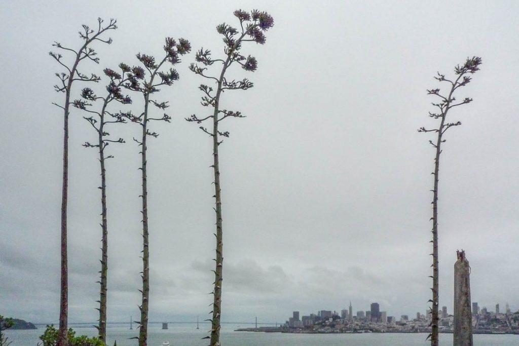 Honderdjarige aloë (Agave americana),Alcatraz, San Francisco, Californië, Verenigde Staten (2010)
