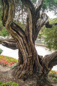 Theeplant (Leptospermum laevigatum)