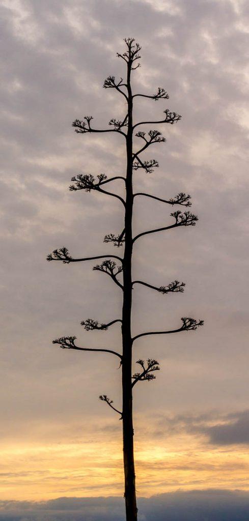 Honderdjarige aloë (Agave americana),Californië, Verenigde Staten (2010)