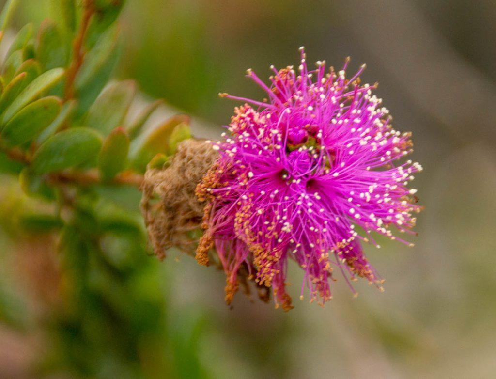 Melaleuca suberosa,Californië, Verenigde Staten (2010)