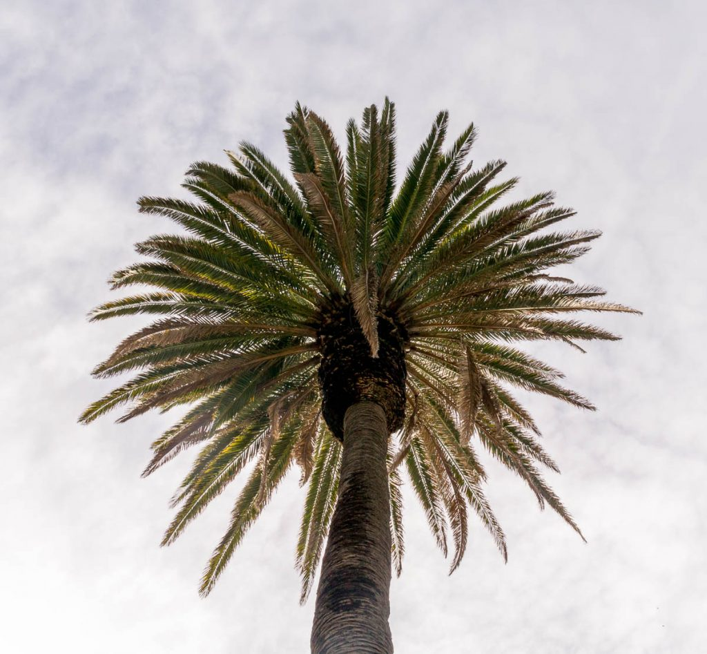 Canarische dadelpalm (Phoenix canariensis),Californië, Verenigde Staten (2010)