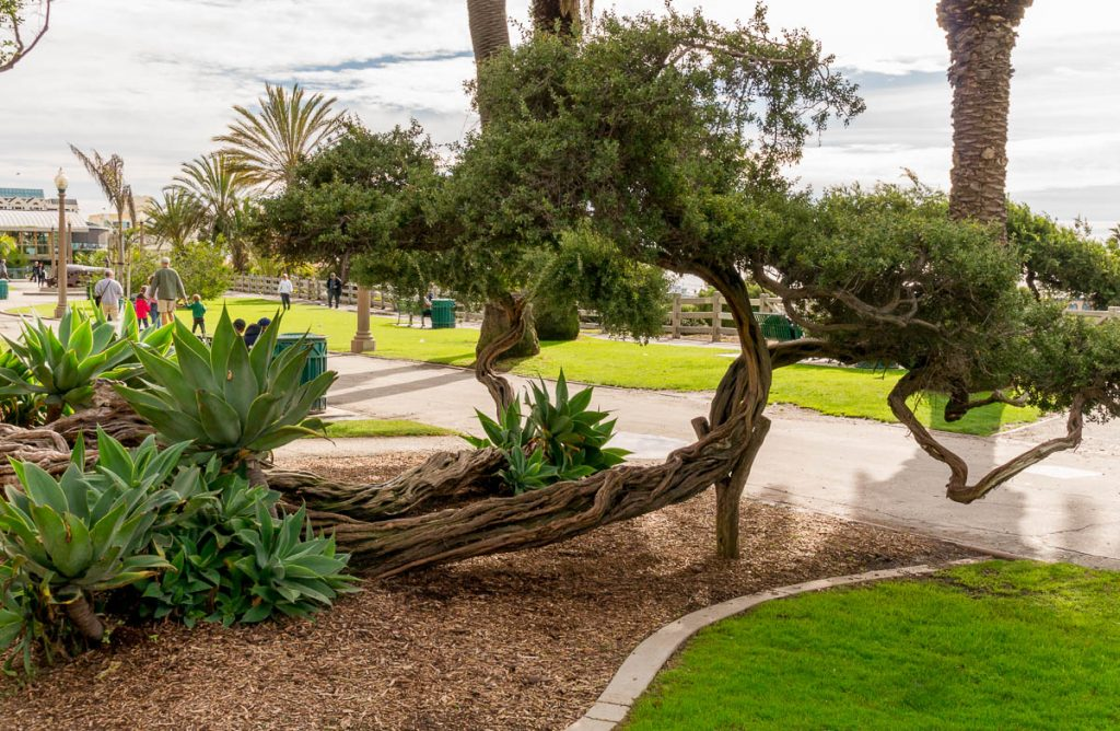 Zuidzee mirte (Leptospermum laevigatum),Californië, Verenigde Staten (2010)