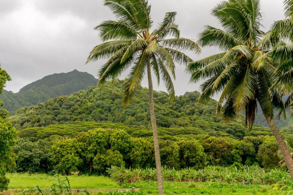 Kokospalm (Cocos nucifera),Vaimaanga, Rarotonga, Cook Eilanden (2010)