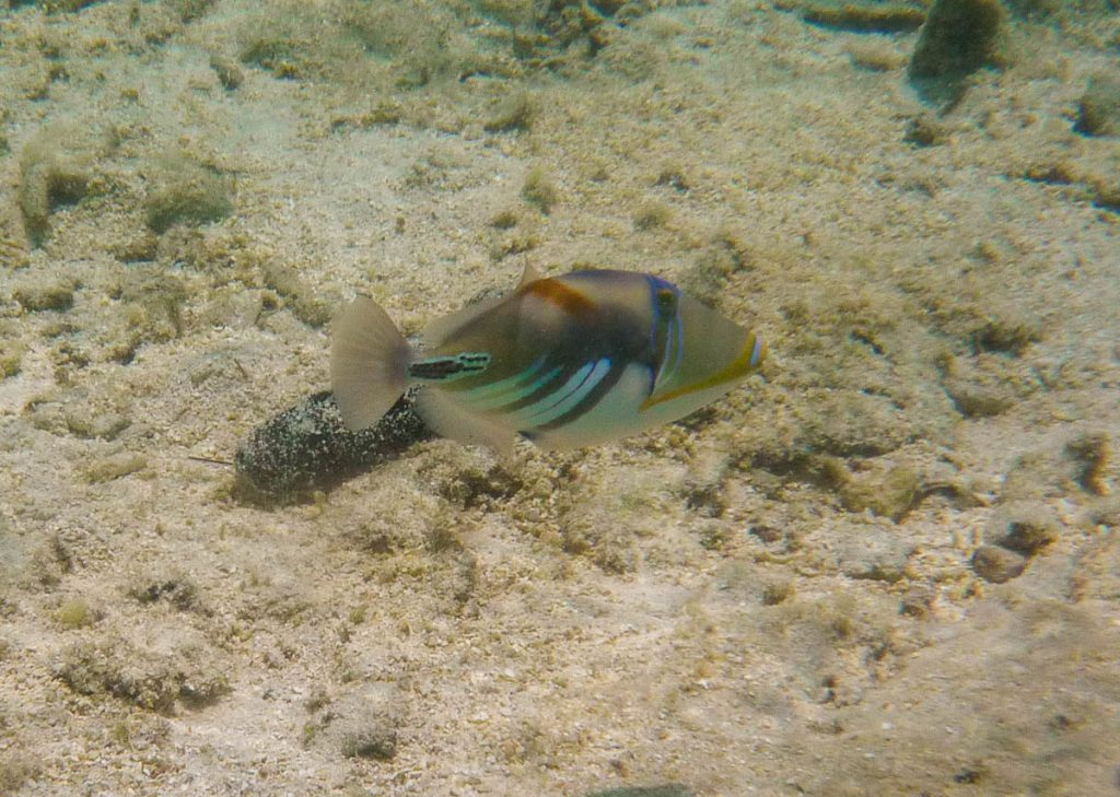 Picassotrekkervis (Rhinecanthus aculeatus),Aroa Beach, Aroa, Rarotonga, Cook Eilanden (2011)
