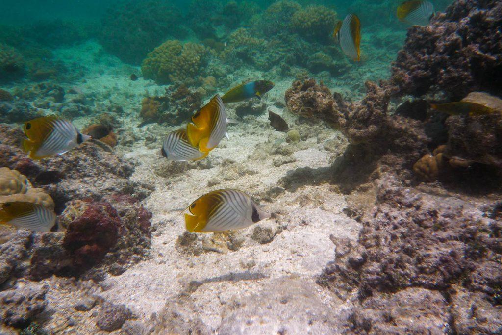 Oogvlekkoraalvlinder,Aroa Beach, Aroa, Rarotonga, Cook Eilanden (2011)
