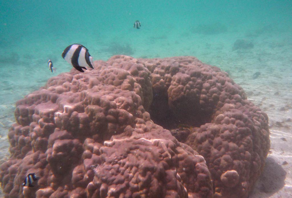 Markiezinnetje (Dascyllus aruanus),Aroa Beach, Aroa, Rarotonga, Cook Eilanden (2011)