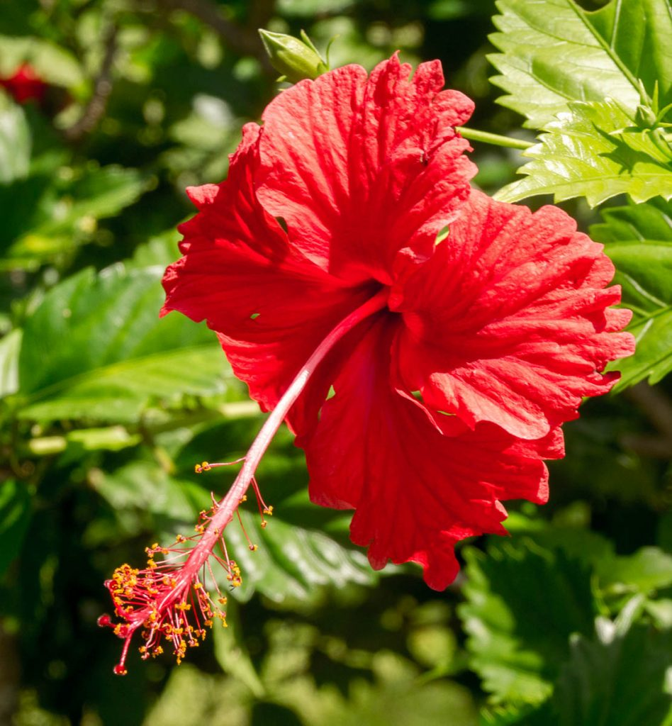 Hibiscus,Backpackers International, Aroa, Rarotonga, Cook Eilanden (2011)