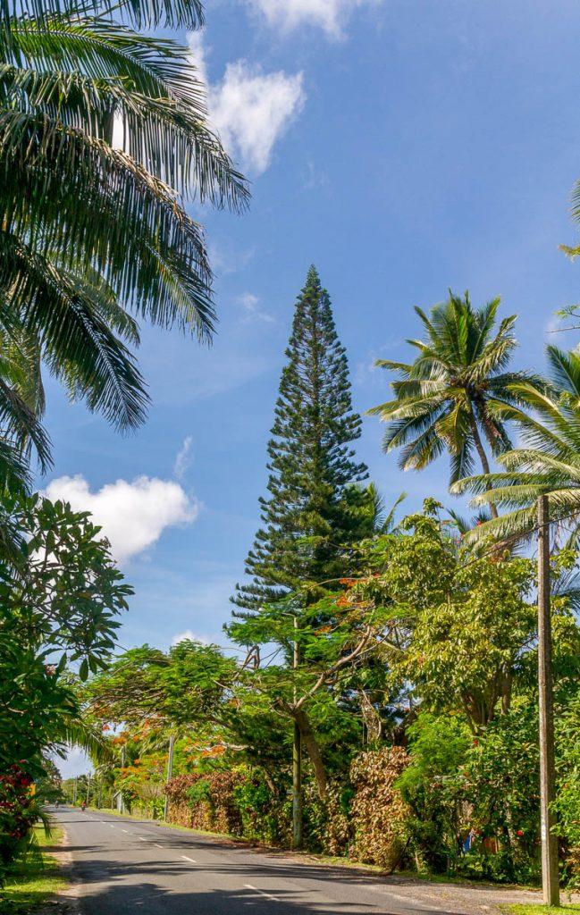 Araucaria columnaris,Aroa, Rarotonga, Cook Eilanden (2011)