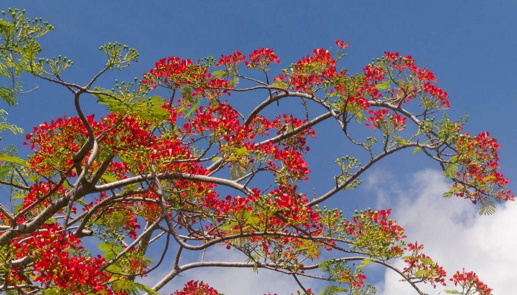 Flamboyant (Delonix regia),Arorangi, Rarotonga, Cook Eilanden (2011)