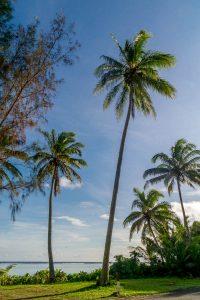 Kokospalm (Cocos nucifera)