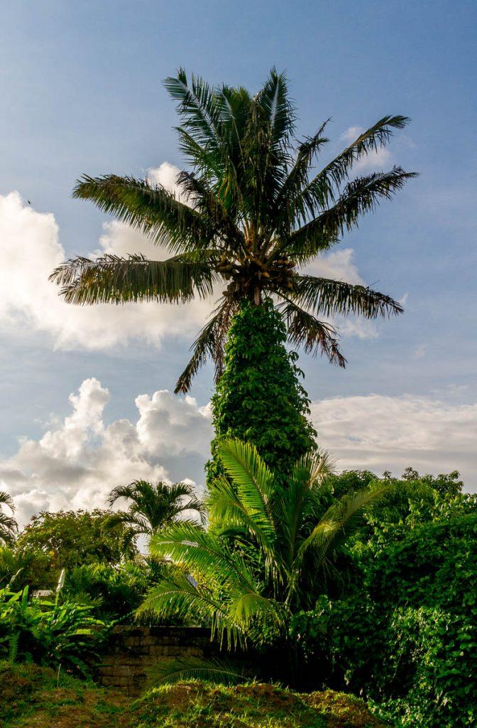 Palmboom,Vaimaanga, Rarotonga, Cook Eilanden (2011)
