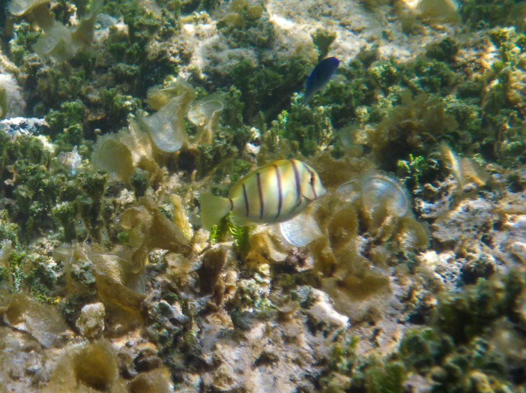 Acanthurus triostegus,Aroa Beach, Aroa, Rarotonga, Cook Eilanden (2011)