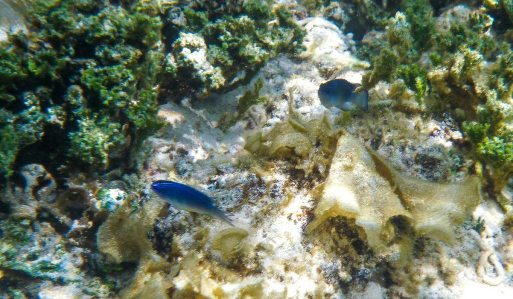 Blauwe visjes,Aroa Beach, Aroa, Rarotonga, Cook Eilanden (2011)
