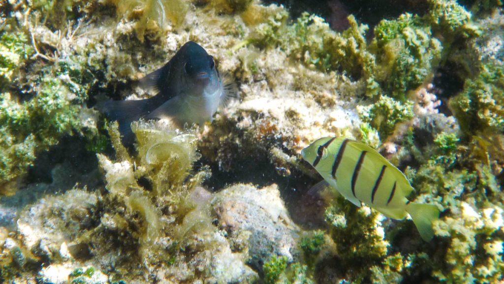 Gestippelde spitssnuit kogelvis (Canthigaster solandri) en een Acanthurus triostegus,Aroa Beach, Aroa, Rarotonga, Cook Eilanden (2011)