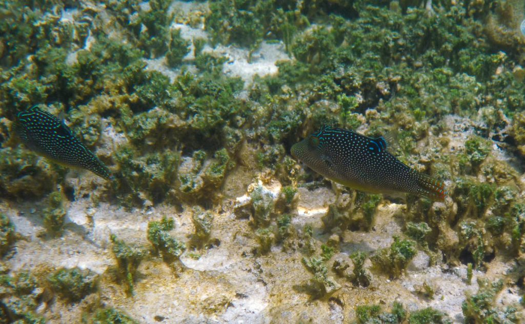 Gestippelde spitssnuit kogelvis (Canthigaster solandri),Aroa Beach, Aroa, Rarotonga, Cook Eilanden (2011)