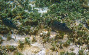 Gestippelde spitssnuit kogelvis (Canthigaster solandri)