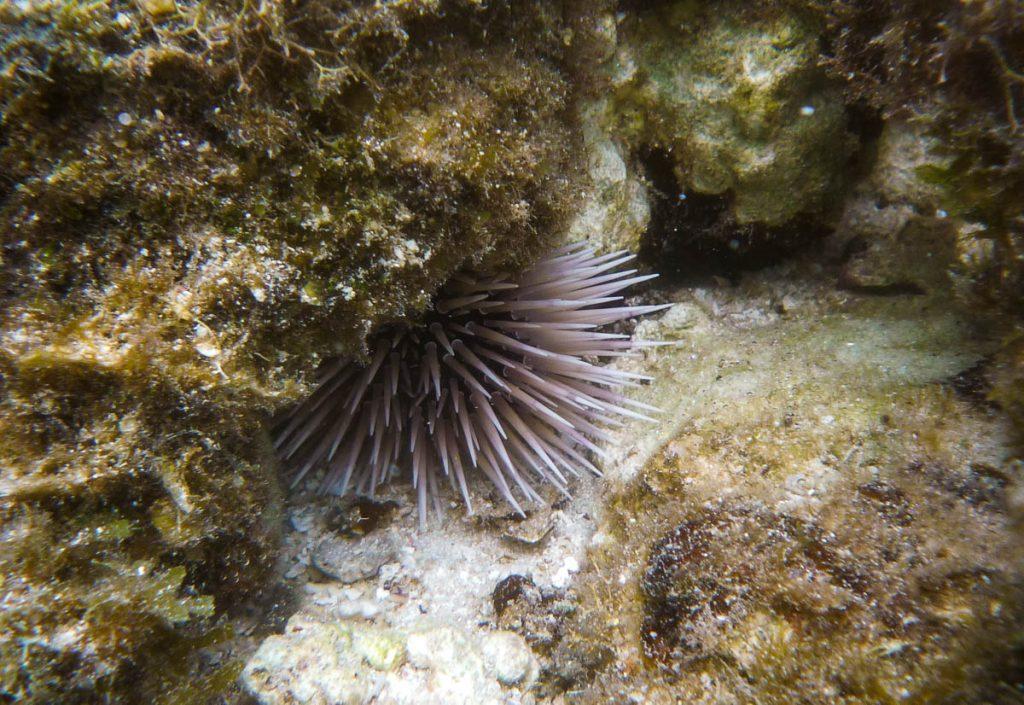 Zeeëgel,Aroa Beach, Aroa, Rarotonga, Cook Eilanden (2011)