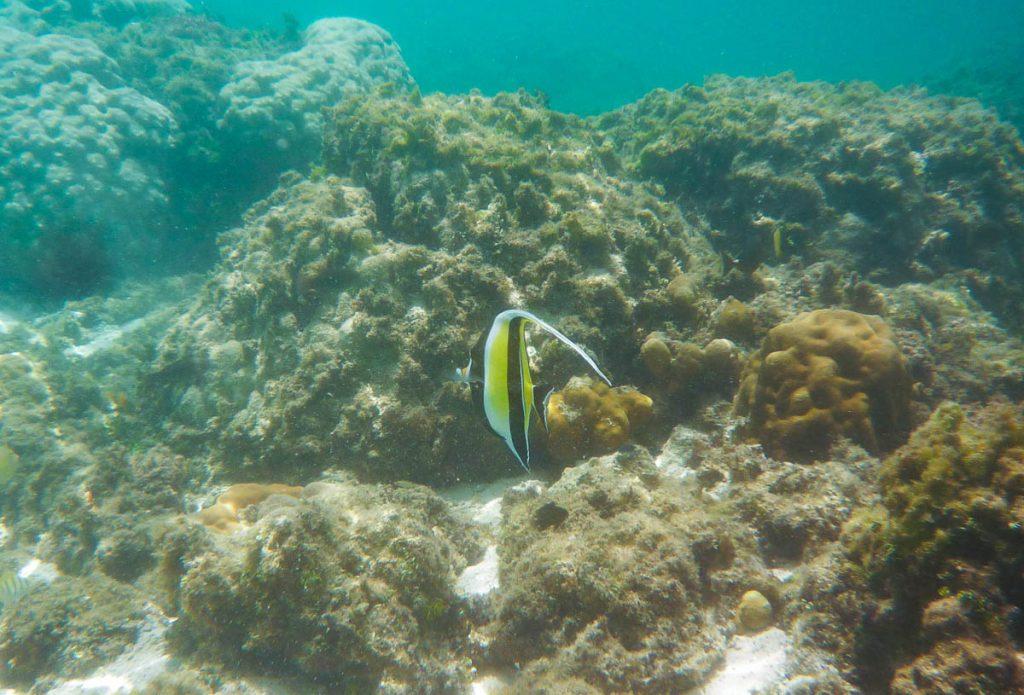 Gewone Wimpelvis (Heniochus acuminatus),Aroa Beach, Aroa, Rarotonga, Cook Eilanden (2011)