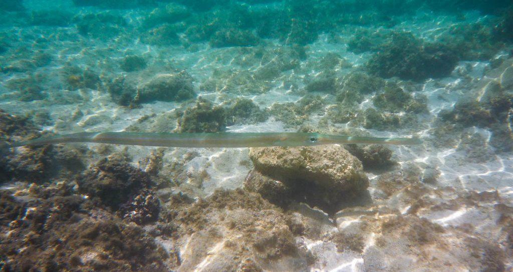 Gladde Fluitbek (Fistularia commersonii),Aroa Beach, Aroa, Rarotonga, Cook Eilanden (2011)