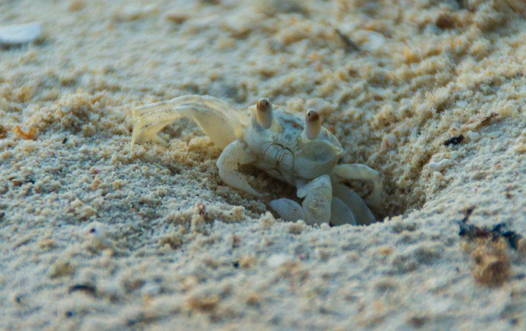Spookkrab (Ocypode pallidula),Aroa Beach, Aroa, Rarotonga, Cook Eilanden (2011)