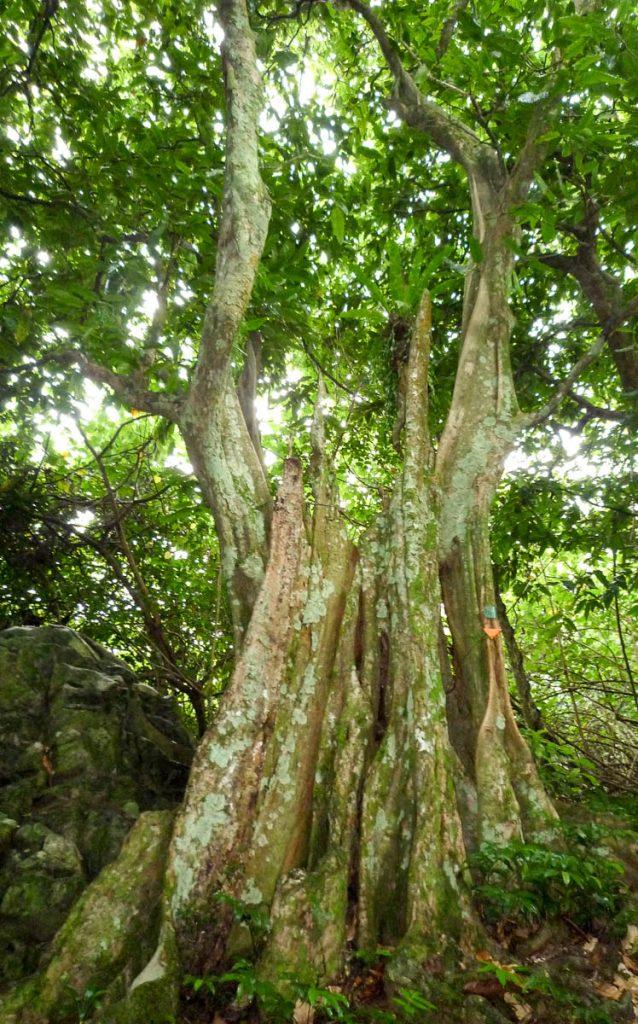 Grote boom,Cross Island Trek, Rarotonga, Cook Eilanden (2011)