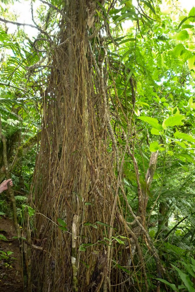 Verstrengeld,Cross Island Trek, Rarotonga, Cook Eilanden (2011)