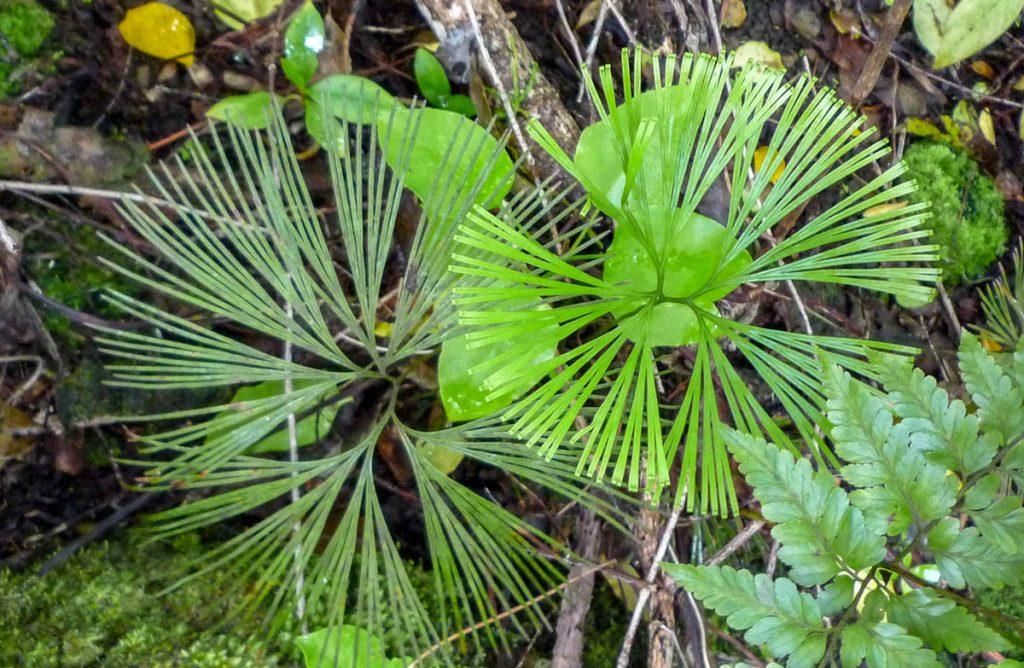 Schizaea Dichotoma,Cross Island Trek, Rarotonga, Cook Eilanden (2011)