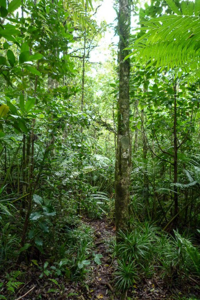 Regenwoud,Cross Island Trek, Rarotonga, Cook Eilanden (2011)