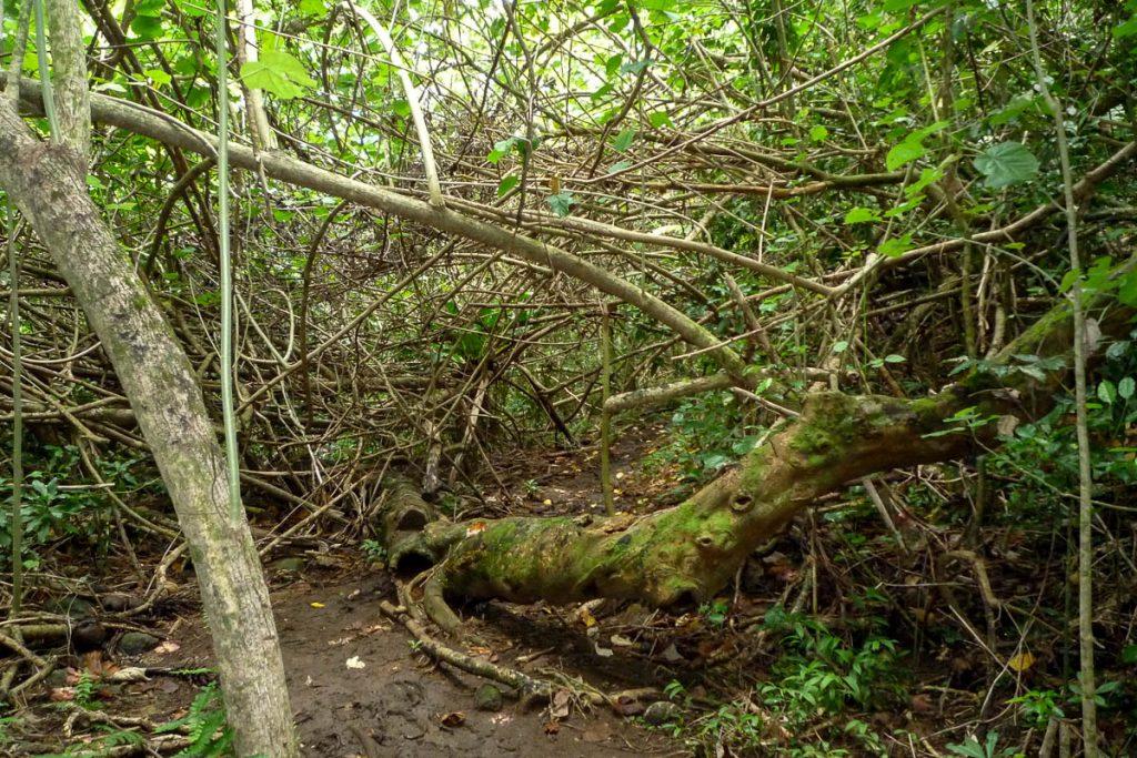 Omgevallen bomen,Cross Island Trek, Rarotonga, Cook Eilanden (2011)