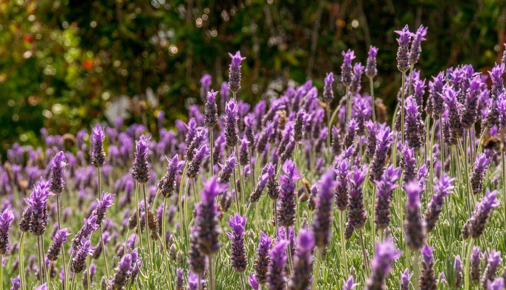 Lavendel,Devonport, Auckland, Auckland, Nieuw Zeeland (2011)