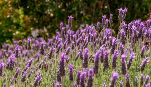 Echte lavendel (Lavandula angustifolia)