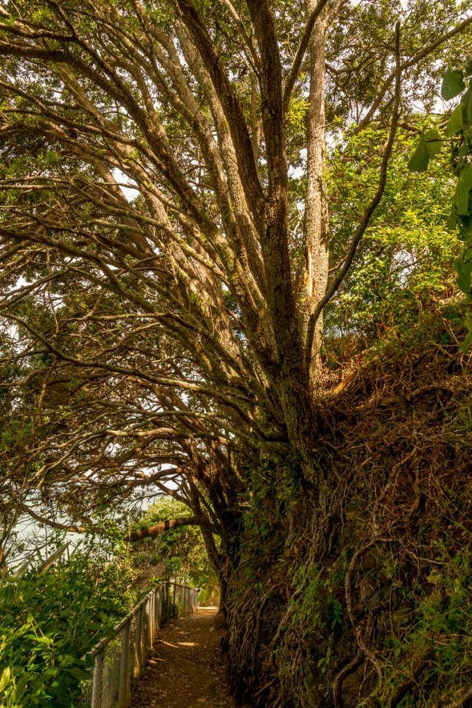 Bomen die groeien op rotsen,Devonport, Auckland, Auckland, Nieuw Zeeland (2011)