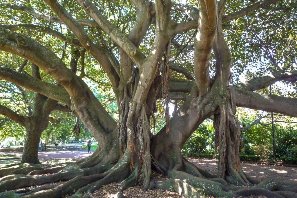 Grote boom,Albert Park, Auckland, Auckland, Nieuw Zeeland (2011)