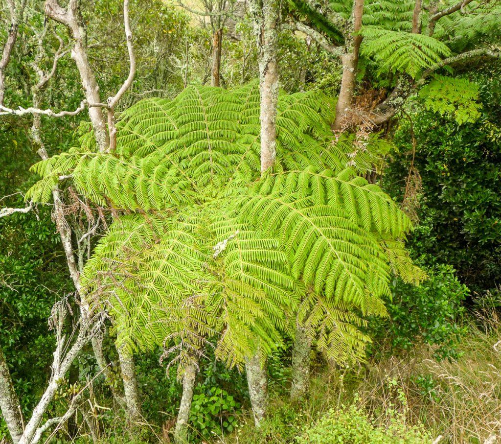Boomvaren,Nikau Walk, Waikeratu, Auckland, Nieuw Zeeland (2011)