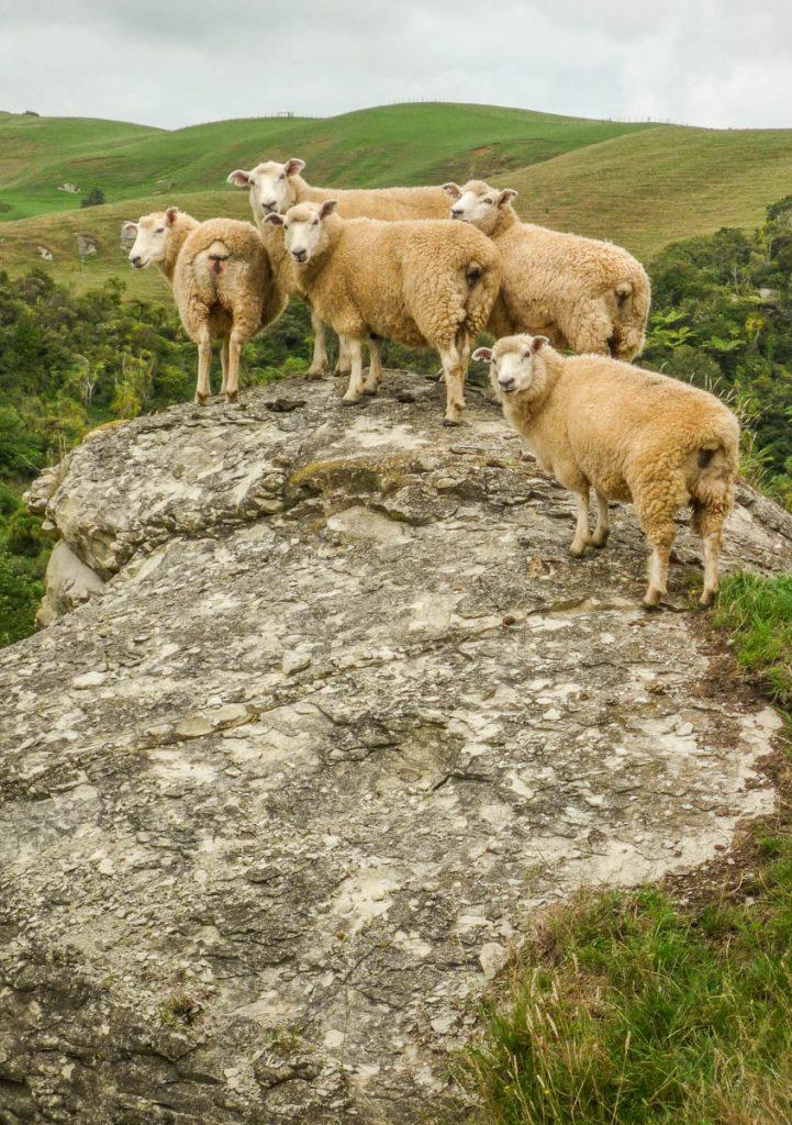 Nieuwsgierige schapen,Nikau Walk, Waikeratu, Auckland, Nieuw Zeeland (2011)
