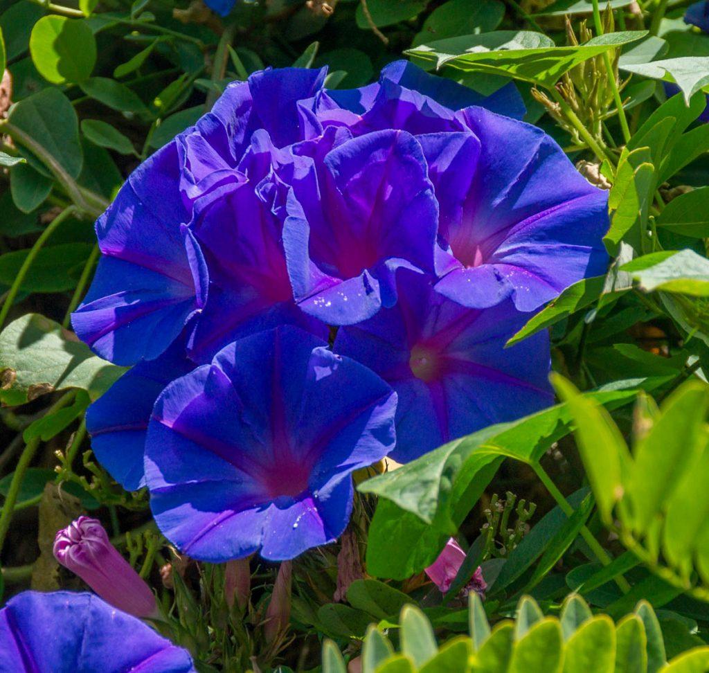 Blauwe winde (Ipomoea purpurea),Hamilton, Waikato, Nieuw Zeeland (2011)