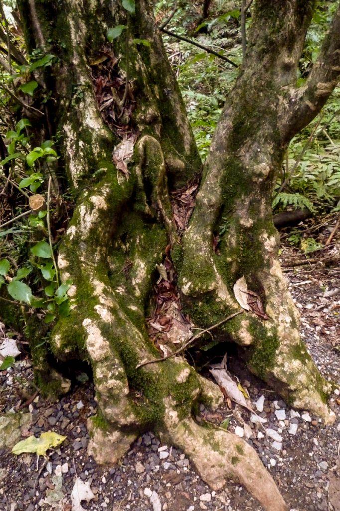 Vrij grote boom,Ruakuri Walk, Waitomo Caves, Waikato, Nieuw Zeeland (2011)