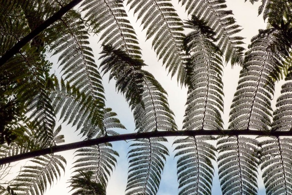 Ponga - Zilveren boomvaren (Cyathea dealbata),Ruakuri Walk, Waitomo Caves, Waikato, Nieuw Zeeland (2011)