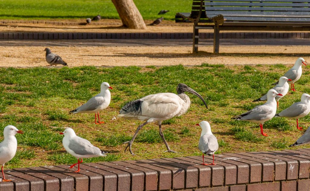 Australische Witte Ibis (Threskiornis moluccus),Circular Quay, Sydney, New South Wales, Australië (2011)