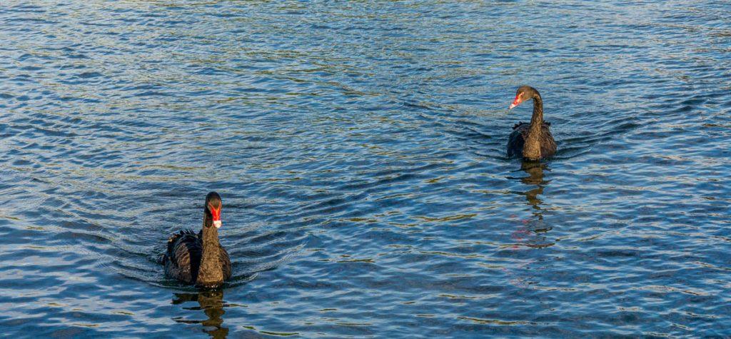 Zwarte Zwanen (Cygnus atratus),Lake Rotorua, Rotorua, Bay of Plenty, Nieuw Zeeland (2011)