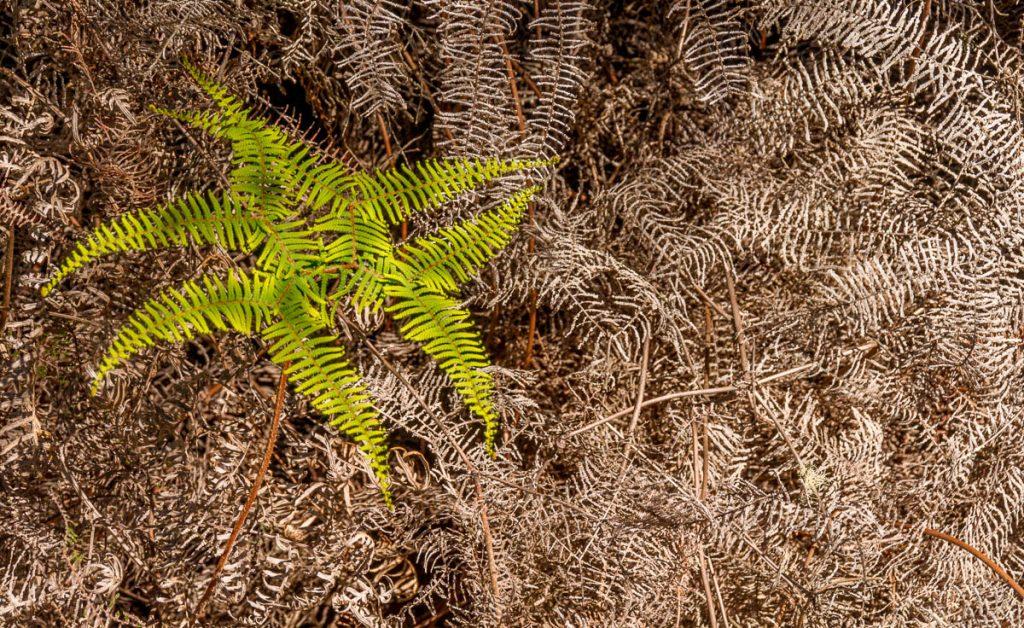 Waewaekākā (Gleichenia dicarpa),Te Puia, Rotorua, Bay of Plenty, Nieuw Zeeland (2011)