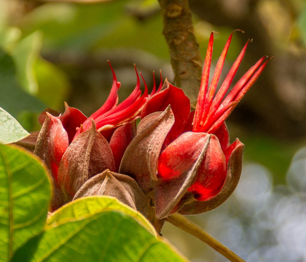 Apenhandbloem(Chiranthodendron pentadactylon),Botanic Gardens, Wellington, Wellington, Nieuw Zeeland (2011)